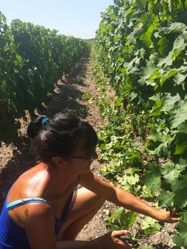 Travail dans les vignes Juillet 2015