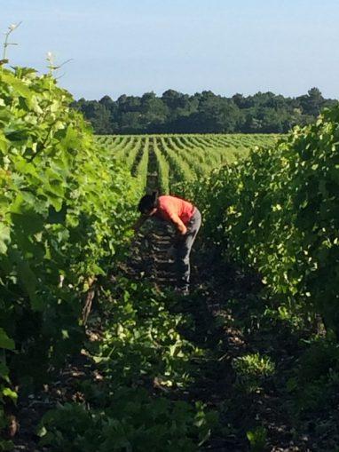 Travaux en vert dans le vignoble