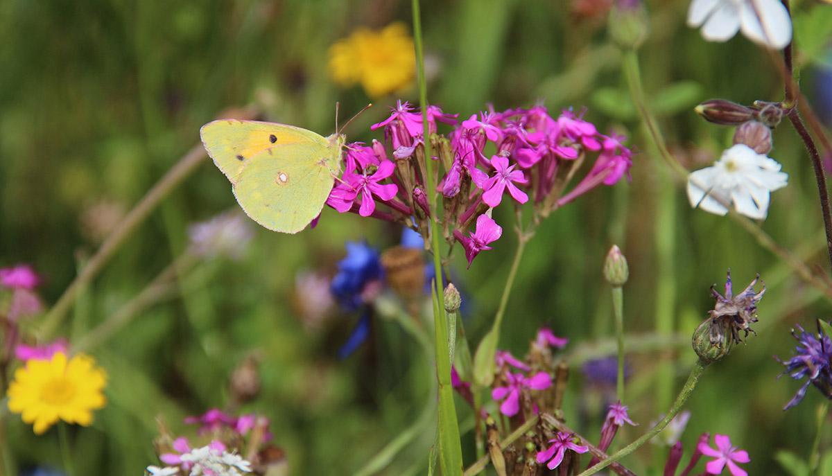 papillon-jach-fleurie-img_2621