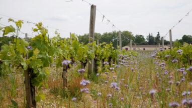 Vignes au Château brown