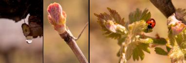 évolution vigne en un mois